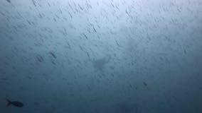 Los buceadores subacuáticos en el fondo de la escuela pescan en las Islas Galápagos almacen de metraje de vídeo