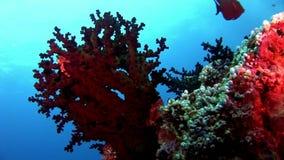 Los buceadores subacuáticos en el fondo de la escuela pescan en Maldivas almacen de video