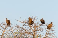 Los buitres agrupan encaramado en branhes del árbol rematan, cielo azul claro, luz de la puesta del sol, parque nacional de Chobe Fotos de archivo