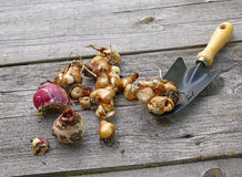 Los bulbos de los tulipanes, narcisos, muscari imágenes de archivo libres de regalías