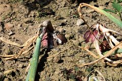 Los bulbos maduros de la cebolla en el huerto Ciérrese encima de cosecha Imagen de archivo libre de regalías