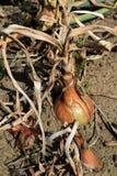 Los bulbos maduros de la cebolla en el huerto Cosecha 2 fotografía de archivo
