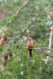Los bullockoides de pecho blanco del Merops del abeja-comedor Imagen de archivo libre de regalías