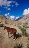 Los burros caminan el paso en las montañas de Karakorum en Paquistán septentrional, paisaje del rastro del senderismo K2 en la ga foto de archivo