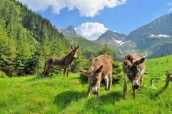 Los burros se cierran encima del retrato en las altas montañas Imagen de archivo libre de regalías