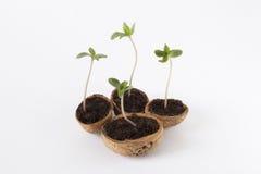 los cáñamos del bebé plantan la etapa vegetativa del crecimiento de la marijuana Foto de archivo libre de regalías
