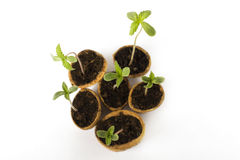 los cáñamos del bebé plantan la etapa vegetativa del crecimiento de la marijuana Imagen de archivo