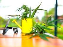 Los cáñamos plantan con los utensilios de jardinería Fotografía de archivo