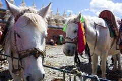 Los caballos acercan al templo en Tíbet Imagenes de archivo