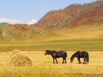Los caballos comen el heno fotos de archivo