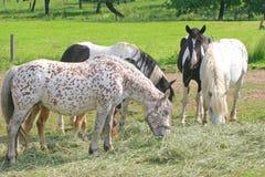 Los caballos comen el heno Imagen de archivo libre de regalías