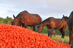 Los caballos comen una pila de tomate Fotos de archivo libres de regalías