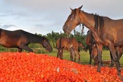 Los caballos comen una pila de tomate Foto de archivo libre de regalías