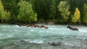 Los caballos cruzan un río de la montaña almacen de video