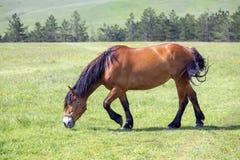 Los caballos de Brown que pastan en la montaña verde fresca pastan Imagen de archivo libre de regalías