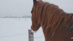 Los caballos de diversas razas pastan en el campo de nieve del invierno, él están nevando almacen de video