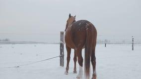 Los caballos de diversas razas pastan en el campo de nieve del invierno, él están nevando almacen de metraje de vídeo
