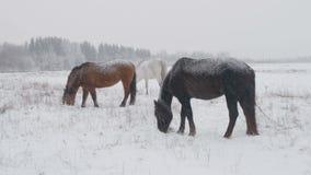 Los caballos de diversas razas pastan en el campo de nieve del invierno, él están nevando metrajes