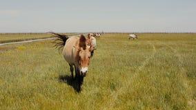 Los caballos de Przewalski están pastando en la estepa Los caballos salvajes eaating la hierba verde metrajes