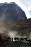 Los caballos de un grupo del trekker Foto de archivo libre de regalías