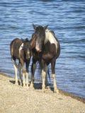 Los caballos en el lago Baikal foto de archivo