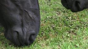 Los caballos en el rancho comen la comida seca almacen de metraje de vídeo