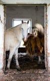 Los caballos en una casa abandonada Foto de archivo