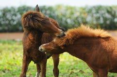 Los caballos enanos están jugando juntos Imagen de archivo