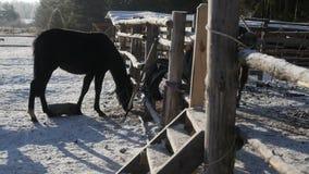 Los caballos están comiendo el heno almacen de metraje de vídeo