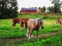 Los caballos hermosos pastan en el prado por la tarde Fotos de archivo libres de regalías