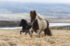 Los caballos islandeses están corriendo fotografía de archivo
