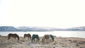 Los caballos islandeses pastan en primer de la naturaleza almacen de video