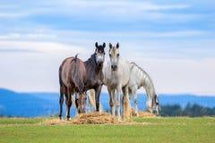 Los caballos jovenes pastan en pasto en verano fotografía de archivo libre de regalías