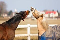 Los caballos juguetones Fotografía de archivo libre de regalías