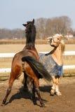 Los caballos juguetones Imagen de archivo libre de regalías