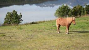 Los caballos marrones claros hermosos en verano enorme verde pastan almacen de video