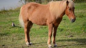 Los caballos marrones claros hermosos en verano enorme verde pastan almacen de metraje de vídeo