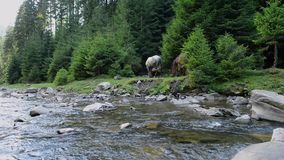 Los caballos pastan cerca de un río de la montaña metrajes