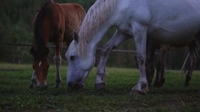 Los caballos pastan en el bosque almacen de video