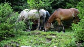 Los caballos pastan en el bosque metrajes
