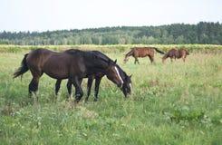 Los caballos pastan en el flojo fotos de archivo