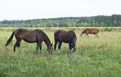 Los caballos pastan en el flojo Fotografía de archivo