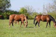 Los caballos pastan en el pasto Caballos del prado en una granja del caballo Caballos que recorren Fotografía de archivo libre de regalías