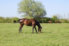 Los caballos pastan en el pasto Caballos del prado en una granja del caballo Caballos que recorren Imagenes de archivo