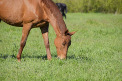 Los caballos pastan en el pasto Caballos del prado en una granja del caballo Caballos que recorren Foto de archivo libre de regalías