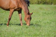 Los caballos pastan en el pasto Caballos del prado en una granja del caballo Caballos que recorren Imágenes de archivo libres de regalías