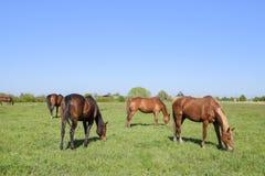 Los caballos pastan en el pasto Caballos del prado en una granja del caballo Caballos que recorren Fotos de archivo