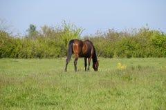 Los caballos pastan en el pasto Caballos del prado en una granja del caballo Caballos que recorren Imagen de archivo libre de regalías