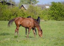 Los caballos pastan en el pasto Caballos del prado en una granja del caballo Caballos que recorren Fotografía de archivo