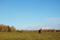 Los caballos pastan en un prado Imagenes de archivo